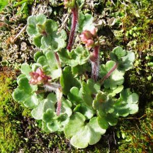 Photographie n°2275440 du taxon Saxifraga granulata L.