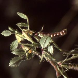 Photographie n°2275479 du taxon Ononis ornithopodioides L. [1753]