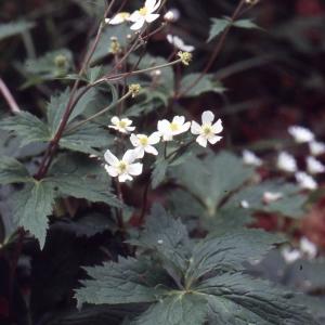 Photographie n°2275526 du taxon Ranunculus aconitifolius L. [1753]