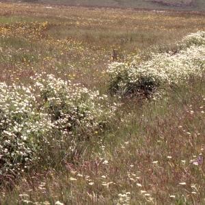 Photographie n°2275527 du taxon Ranunculus aconitifolius L. [1753]
