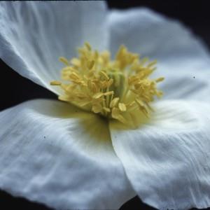 Photographie n°2275529 du taxon Ranunculus aconitifolius L. [1753]