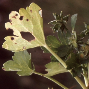 Photographie n°2275534 du taxon Ranunculus macrophyllus Desf.