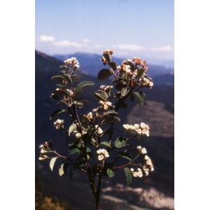 Cotoneaster obtusisepalus Gand. (Cotonéaster à sépales obtus)