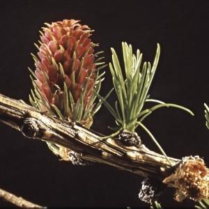 Photographie n°2275745 du taxon Larix decidua Mill.