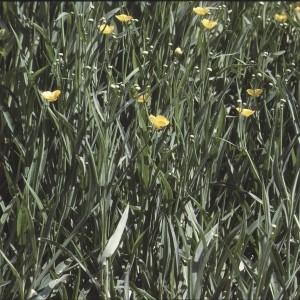 Photographie n°2275757 du taxon Ranunculus flammula L. [1753]