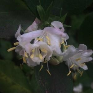 Lonicera fragrantissima Lindl. & Paxton
