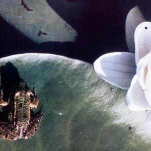 Photographie n°2275828 du taxon Nymphaea alba L. [1753]