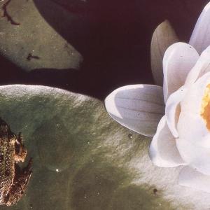 Photographie n°2275830 du taxon Nymphaea alba L. [1753]