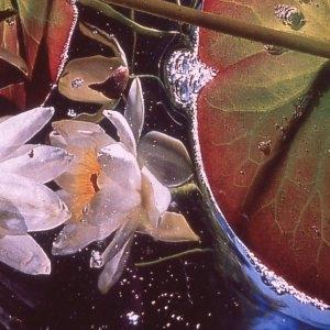 Photographie n°2275832 du taxon Nymphaea alba L. [1753]