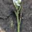 dominique CAGNIARD - Cardamine hirsuta L. [1753]
