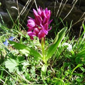 Photographie n°2276127 du taxon Dactylorhiza sambucina f. rubra (Winterl) Hyl. [1966]