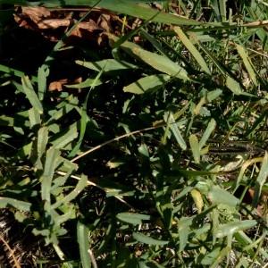 Photographie n°2276328 du taxon Euphorbia serrata L. [1753]