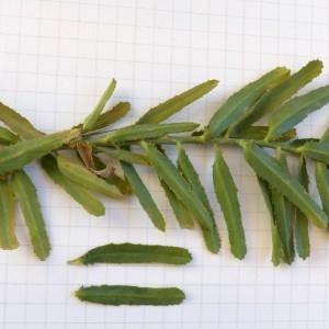 Photographie n°2276329 du taxon Euphorbia serrata L. [1753]