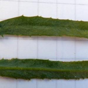 Photographie n°2276330 du taxon Euphorbia serrata L. [1753]
