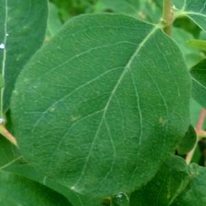 Photographie n°2276376 du taxon Lonicera caerulea L. [1753]
