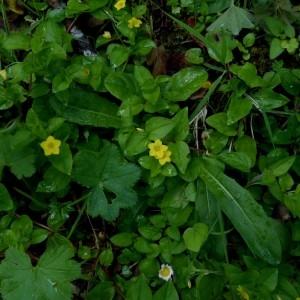 Photographie n°2276395 du taxon Lysimachia nemorum L.