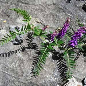 Photographie n°2276435 du taxon Vicia cracca L. [1753]