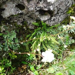 Photographie n°2276450 du taxon Saxifraga paniculata Mill.
