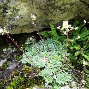 Photographie n°2276453 du taxon Saxifraga paniculata Mill.