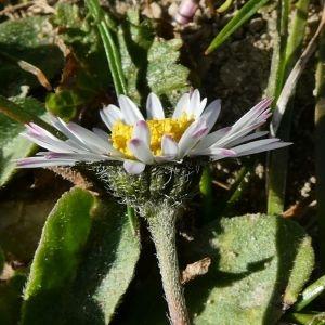 Photographie n°2276489 du taxon Bellis perennis L.
