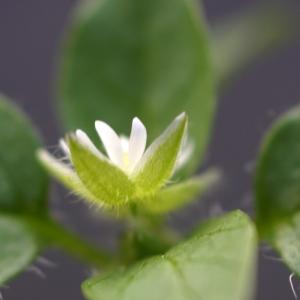 Photographie n°2276759 du taxon Stellaria media (L.) Vill. [1789]