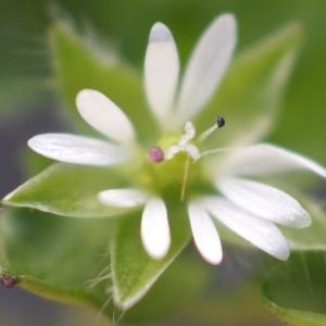 Photographie n°2276763 du taxon Stellaria media (L.) Vill. [1789]