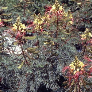 - Caesalpinia gilliesii (Wall. ex Hook.) D.Dietr.