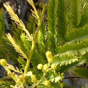 Photographie n°2277195 du taxon Acacia dealbata Link [1822]