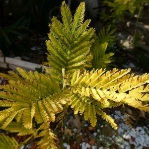 Photographie n°2277196 du taxon Acacia dealbata Link [1822]
