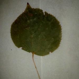 Photographie n°2277518 du taxon Tilia platyphyllos Scop. [1771]