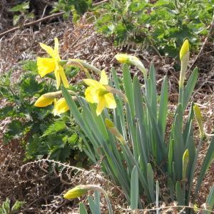 Photographie n°2277538 du taxon Narcissus pseudonarcissus L. [1753]