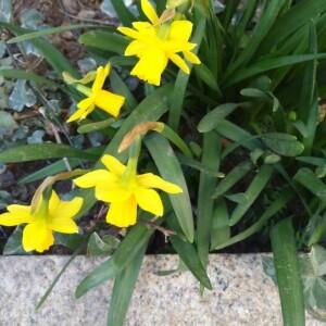 Photographie n°2277677 du taxon Narcissus pseudonarcissus L. [1753]