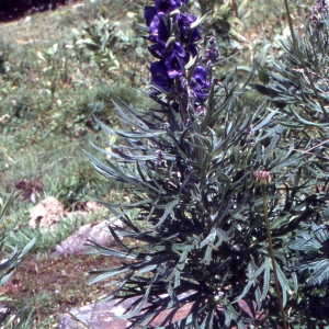 Photographie n°2277979 du taxon Aconitum pyramidale Mill. [1768]
