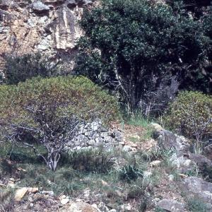 Photographie n°2278006 du taxon Euphorbia dendroides L. [1753]