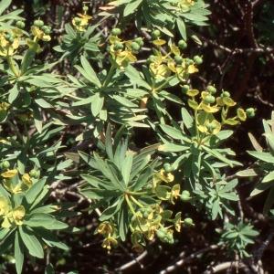 Photographie n°2278009 du taxon Euphorbia dendroides L. [1753]