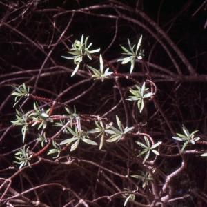 Photographie n°2278011 du taxon Euphorbia dendroides L. [1753]