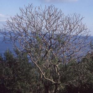 Photographie n°2278015 du taxon Euphorbia dendroides L. [1753]