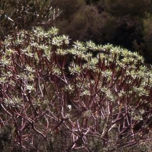 Photographie n°2278016 du taxon Euphorbia dendroides L. [1753]