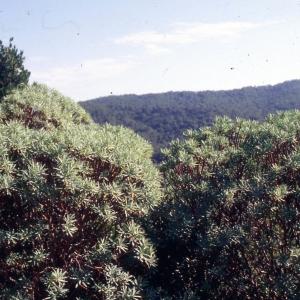 Photographie n°2278017 du taxon Euphorbia dendroides L. [1753]