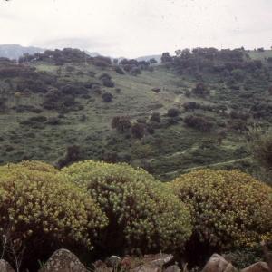 Photographie n°2278021 du taxon Euphorbia dendroides L. [1753]