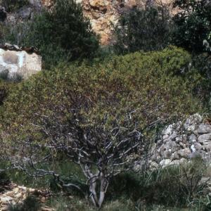 Photographie n°2278025 du taxon Euphorbia dendroides L. [1753]