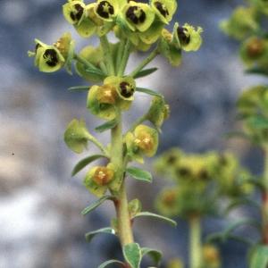 Photographie n°2278027 du taxon Euphorbia dendroides L. [1753]