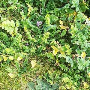 Photographie n°2278205 du taxon Erodium moschatum (L.) L'Hér. [1789]