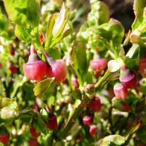 Photographie n°2278493 du taxon Vaccinium myrtillus L.