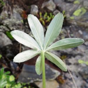 Photographie n°2278502 du taxon Potentilla alchemilloides Lapeyr. [1782]