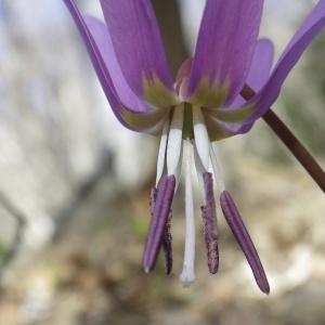 Erythronium dens-canis L. (Dent-de-chien)