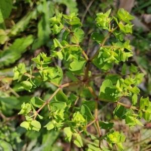Photographie n°2279336 du taxon Euphorbia peplus L. [1753]