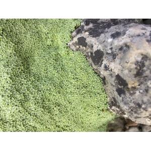 Arenaria alfacarensis Pamp.