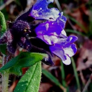 - Pulmonaria angustifolia L. [1753]