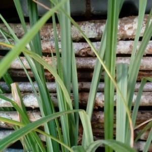 Photographie n°2279670 du taxon Carex flacca Schreb. [1771]